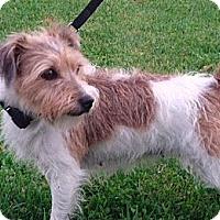 Adopt A Pet :: Triscuit - Rigaud, QC