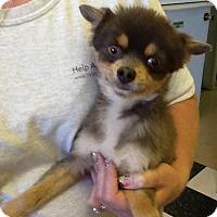 Adopt A Pet :: Elvis - Phoenix, AZ