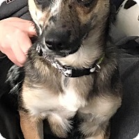 Adopt A Pet :: Drew - Joliet, IL
