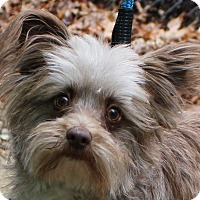 Adopt A Pet :: Gizmo - Grafton, MA