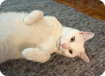 Domestic Shorthair Cat for adoption in New York, New York - Anael