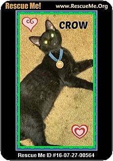 Domestic Shorthair Kitten for adoption in Highland, Michigan - Crow