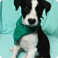 Border Collie/Labrador Retriever Mix Puppy for adoption in Southington, Connecticut - Summer