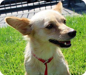 Pomeranian Mix Dog for adoption in Modesto, California - Autumn