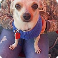 Chihuahua Dog for adoption in Rathdrum, Idaho - Tucker