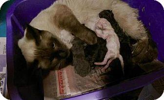 Siamese Kitten for adoption in Lorain, Ohio - Jezebels Kittens