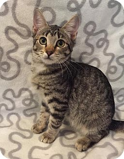 Domestic Shorthair Kitten for adoption in Westminster, California - Zebra