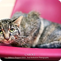 Domestic Shorthair Cat for adoption in Appleton, Wisconsin - Caroll