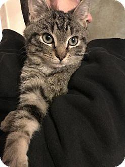 Domestic Shorthair Kitten for adoption in Templeton, Massachusetts - Swan