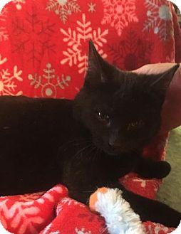 Domestic Shorthair Kitten for adoption in Butner, North Carolina - Lulu