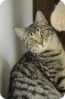 Domestic Shorthair Cat for adoption in Atlanta, Georgia - Bouton     162117
