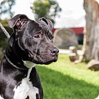 Adopt A Pet :: Helmsley - San Diego, CA
