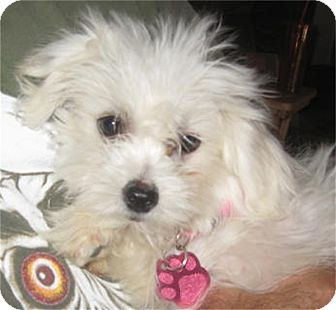 Coton de Tulear Mix Puppy for adoption in Golden Valley, Arizona - Sophie