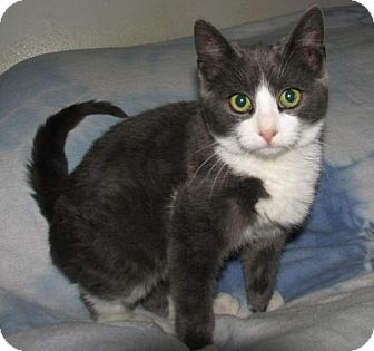 Domestic Shorthair Kitten for adoption in Oxford, New York - Hans