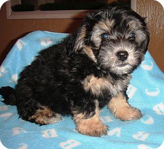 Teiko | Adopted Puppy | Santa Ana, CA | Lhasa Apso/Yorkie ...