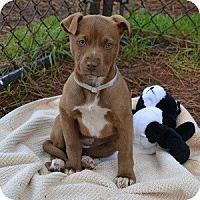 Adopt A Pet :: Destiny - Athens, GA
