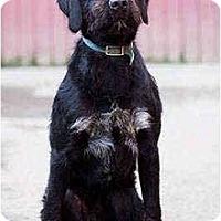 Adopt A Pet :: Dooney - Portland, OR