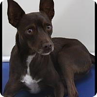 Adopt A Pet :: Brownie - Rockwall, TX