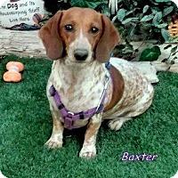 Adopt A Pet :: Baxter - Chandler, AZ