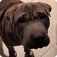 Adopt A Pet :: Diesel - Barnegat Light, NJ