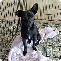 Adopt A Pet :: Sweet Pea - Only $75 adoption - Litchfield Park, AZ