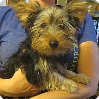 Adopt A Pet :: Ralph - Westport, CT