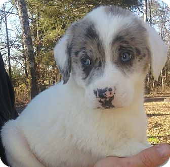 Australian Shepherd/Great Pyrenees Mix Puppy for adoption in Kittery, Maine - Samson