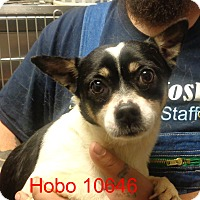 Adopt A Pet :: Hobo - baltimore, MD