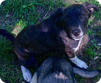 Catahoula Leopard Dog/Hound (Unknown Type) Mix Puppy for adoption in Allentown, Pennsylvania - Snickers
