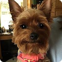 Adopt A Pet :: Macey - Sinking Spring, PA