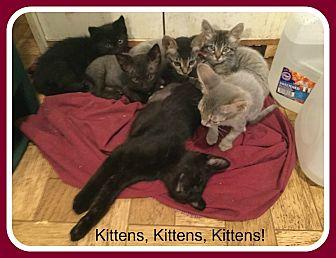 Domestic Shorthair Kitten for adoption in Malvern, Arkansas - KITTENS