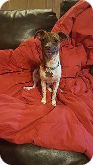 Dachshund/Chihuahua Mix Puppy for adoption in Phoenix, Arizona - Sage