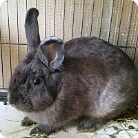 Lionhead Mix for adoption in Greenfield, Indiana - Mufasa