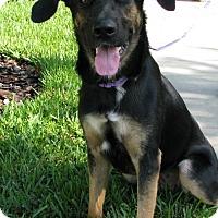 Shepherd (Unknown Type) Dog for adoption in Sanford, Florida - Asia