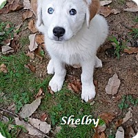 Adopt A Pet :: Shelby - Bartonsville, PA