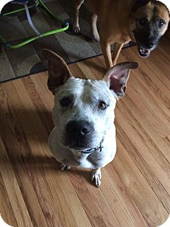 Pit Bull Terrier Mix Dog for adoption in Rockford, Illinois - Tank