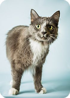 Domestic Mediumhair Cat for adoption in Hendersonville, North Carolina - Lionel
