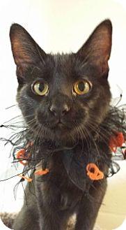 Domestic Shorthair Kitten for adoption in Joplin, Missouri - Olive Wow 110817