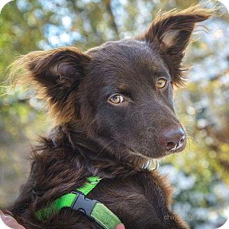 Labrador Retriever Mix Dog for adoption in Boulder, Colorado - Dorito
