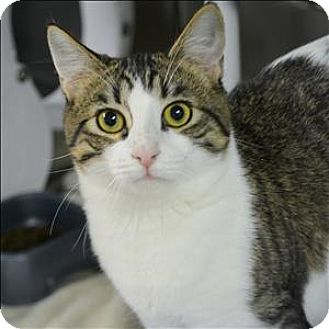 Domestic Shorthair Cat for adoption in Vallejo, California - Spunky