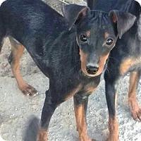 Adopt A Pet :: Kiara's KIbbles - Las Vegas, NV