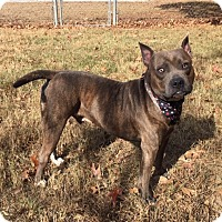 Adopt A Pet :: BULLET - Sterling, MA