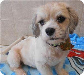 Cairn Terrier/Shih Tzu Mix Dog for adoption in Osage Beach, Missouri - Finnion