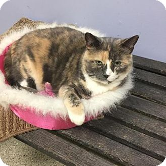 Domestic Shorthair Cat for adoption in Oak Park, Illinois - Fabri