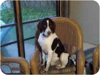 Brittany Dog for adoption in Buffalo, New York - Roscoe