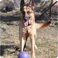 Adopt A Pet :: Sheba - Hamilton, MT