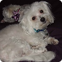 Adopt A Pet :: Boogie - Phoenix, AZ