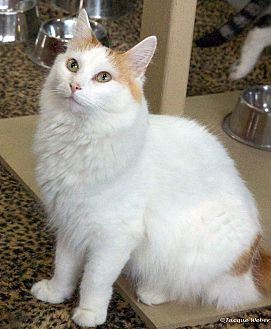 Turkish Van Cat for adoption in St Louis, Missouri - Blitzen