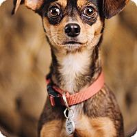 Adopt A Pet :: Tortellini - Portland, OR