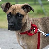 Adopt A Pet :: Velma $250 - Seneca, SC